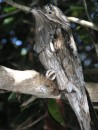 Northern Potoo Owl