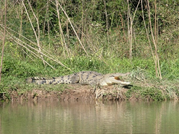 This croc sunning on the bank with 4 or 5 of his friends along the river Estero de San Cristobal.