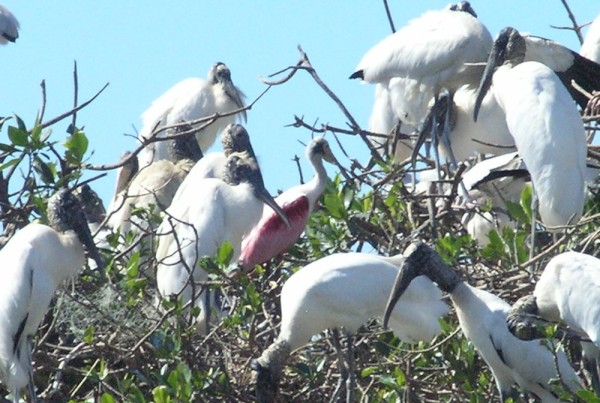 The pink bird in the middle of the Wood storks is a Roseate Spoonbill
