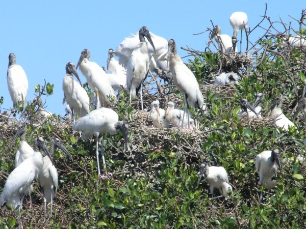 Wood Storks with 2 babies in the nest