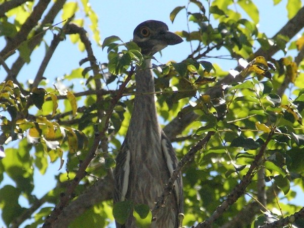 I think this may be a Night Heron?
