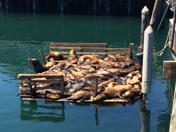 Sea lions at Monterey Bay