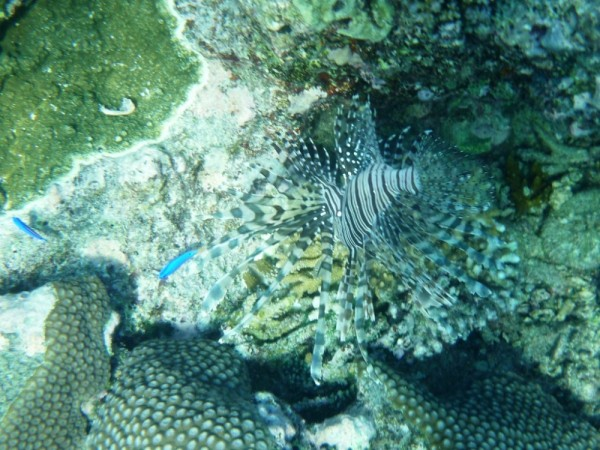 Can you see the lion fish