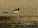 Pied Oystercatcher- reflections