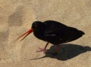 Oyster catcher, Abel Tasman Park, South Island