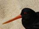Up close Oyster catcher- love the red eye