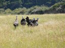 Wild Turkeys, North Island
