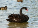 Black Swan, McLaren Falls, North Island- also viewed at Farewell Spit low tide estuaries.