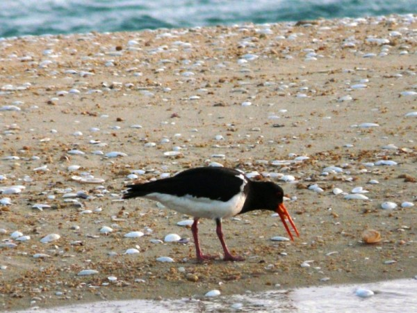 Pied Oystercatcher eating dinner on the Adele Island sand spit as the sun sets (endemic to NZ)