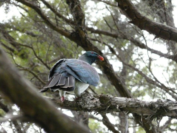 Kereru (NZ wood pidgeon). This native bird is threatened- is the largest flighted bird in the bush- and is very loud when it flies over you!
