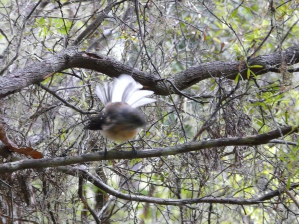 """Constant Motion"" NZ Fantail hovers briefly"