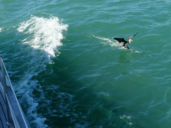 Pied shag makes repeat landing next to Paikea Mist, Hauraki Gulf  (he would then dive into our wake to fish)
