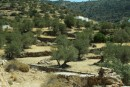 Olive terraces on the beautiful island of Syphnos