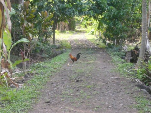 The ubiquitous rooster.  Chickens are feral throughout the Marquesan Island, and are everywhere.  I love the colors!