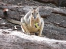 Rock wallaby feasting on a green lunch!