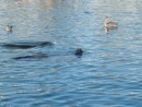 Sea lions in the inner harbour at Santa Cruz- we watched them catch fish as the pelicans and seagulls fought for leftovers