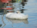 Sleeping swan- Steveston BC