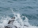 Dolphin splashes dive in unison