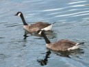 Canadian Geese at Squirrel Cove, BC
