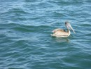 one of a million pelicans