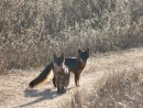 Pair of Island Fox, Santa Cruz- Del Norte Trail