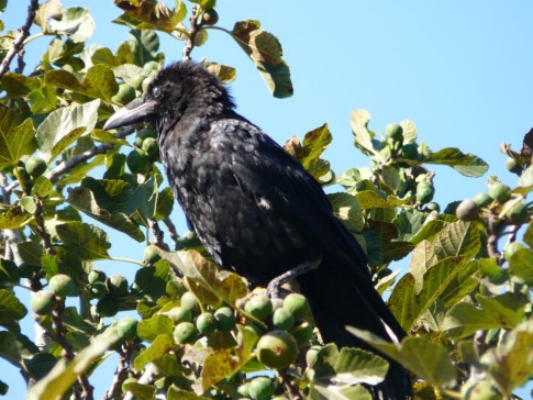 Raven sits in a fig tree- enjoying the fruit