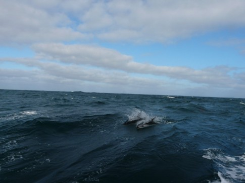 Dolphins cresting wave offshore