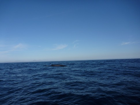 Humpbacks off the port side