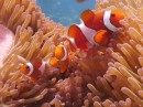 False Clown Fish, still looking for Nemo!