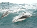 Pacific white sided dolphins ride the big waves along side Paikea Mist