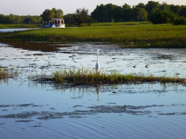 Last chance to fish- great egret hunts for food at dusk