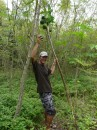 Michael picks a green papaya from a tree on Nomuka Iki, the island was used as a prison several years ago