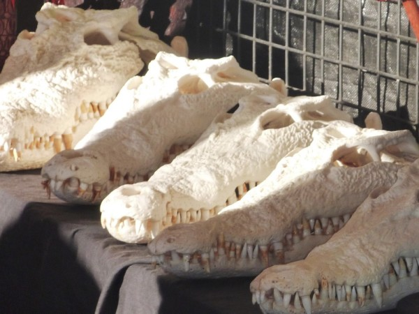 You can even buy your own croc skull- Michael wanted to hang one up in our cabin...noooo!