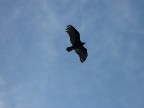 The turkey vultures were a well fed bunch along the beach- lots of fish boats arriving in the afternoon