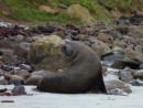 NZ sealion, resting on the beach after deep sea fishing