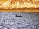 dolphins play at our anchorage, Great Barrier