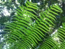 "Giant ferns, stems 3"" round soar 20 feet up"