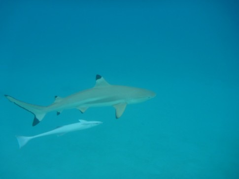 close up encounters with the black tip sharks or Moorea