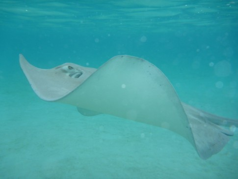 Sting rays- long established feeding ground brings on the big boys!
