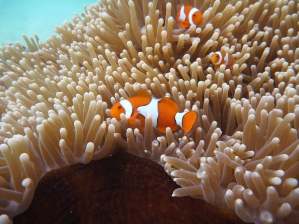 Finding Nemo- this is the False Clown Anenome Fish!  Yet to find the real one!