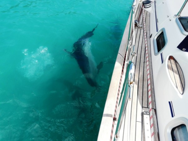 These dolphins were pursuing the fish under our boat with all their strength, agile and strong!