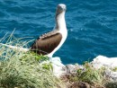 Blue footed booby- what a look!