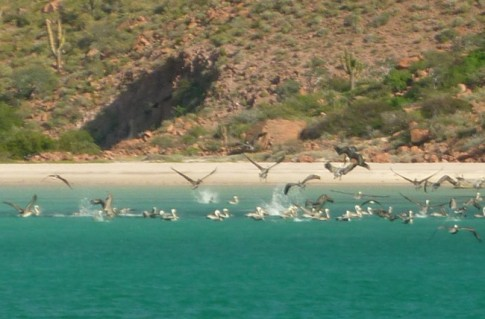 Pelican feeding frenzy in Espiritu Santo.