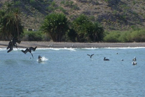 Pelicans diving in the surf at Agua Verde.