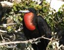 Frigate bird, Bahia San Gabriel, Isla Espiritu Santo: There is an old pearl farm in the south side of the bay that the frigate birds have taken over and estabished a breeding colony in the mangroves. You can drift by in the dinghy, watching the males inflate their pouches and click their beaks at the ladies.