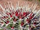 Barrel cactus. Everything in Baja has thorns.