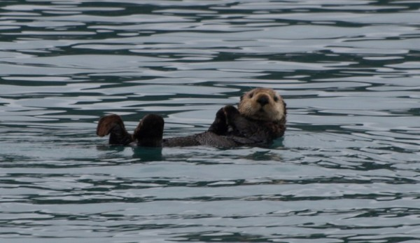 We are never far from a sea otter.