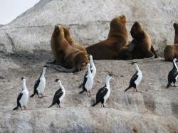 Souhern Sea Lions and Imperial Shags