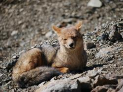 Andean Fox: When we reached the summit and could go no further, out came an Andean fox to welcome us to it