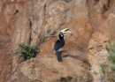 A Pied Hornbill. These are common, usually seen in pairs, not shy and very noisy.